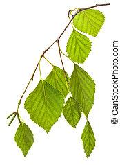 ramoscello, controluce, betulla