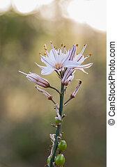 ramosus, asphodelus, morgen