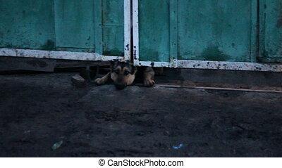 rampé, sous, aboyer, barrière, chien