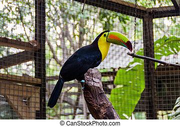 (ramphastos, toucan, sulfuratu, keel-billed