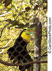 ramphastos, toucan, sulfuratus, keel-billed