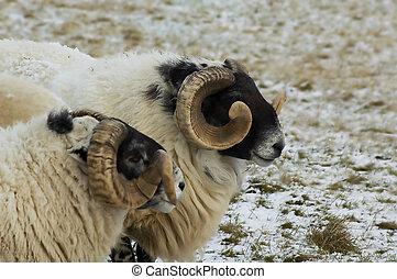 Rams in winter