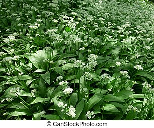 Ramsons, Allium ursinum - Ramsons in flower. Also known as ...