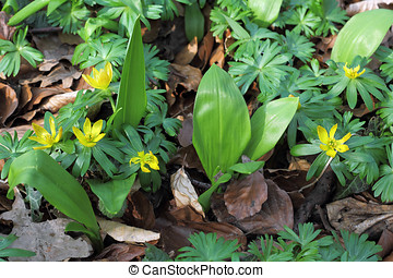 Ramsons and Winter Aconite in a beech forest in early spring
