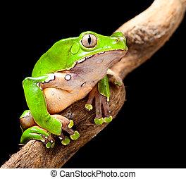 rana de árbol, amazon, verde, selva tropical