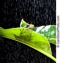 rana, lluvia