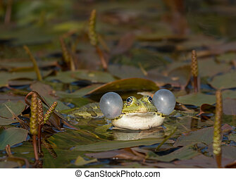 Rana ridibunda calling in a pond in Croatia