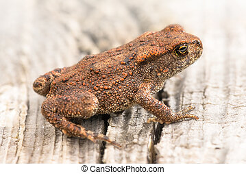 rana, temporaria, gewöhnlicher frosch, oder