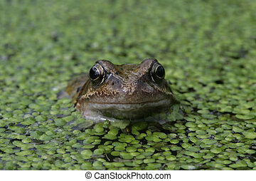 rana, temporaria, gewöhnlicher frosch