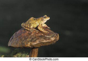 rana, temporaria, rana comune