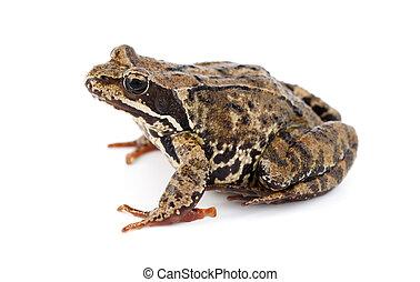 Rana temporaria - big brown frog on white background