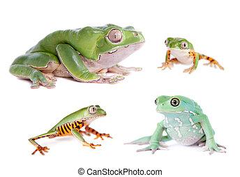 ranas, blanco, conjunto, mono de hoja