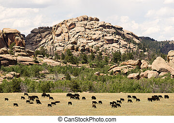 ranch, bétail, boeuf, ferme, wyoming, rocher, vaches, butte,...