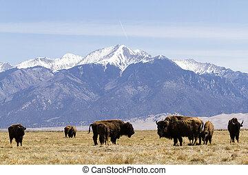 ranch, büffel