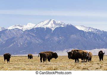 ranch, buffle