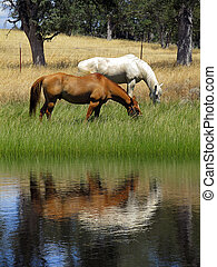 Ranch Horse Reflection - Grazing ranch horses reflected in ...