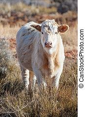 ranch, jeune, vache