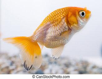 Ranchu goldfish in the fishtank.