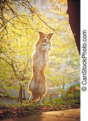 rand- collie, hund, versetzen, in, sonnenschein