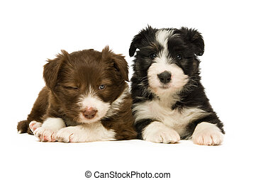 rand- collie, hundebabys