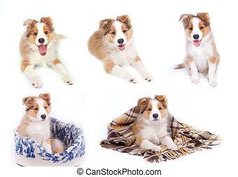 rand- collie, hundebabys, freigestellt