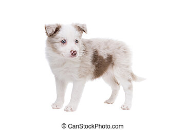 rand- collie, junger hund, hund, vor, a, weißer hintergrund