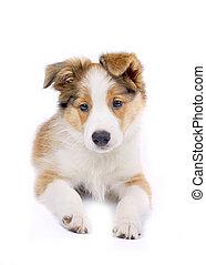 rand- collie, junger hund