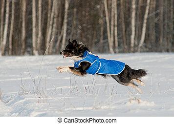 rand- collie, laufen, winter