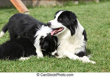 rand- collie, mit, hundebabys