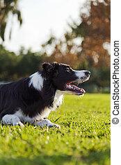 rand- collie, park, rasen, hund