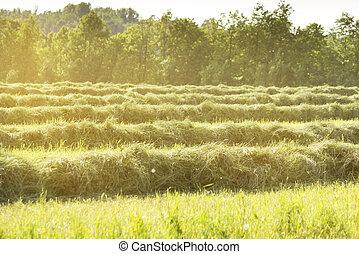 rangées, champ, soleil, directement, mensonges, fauché, herbe, sunset.