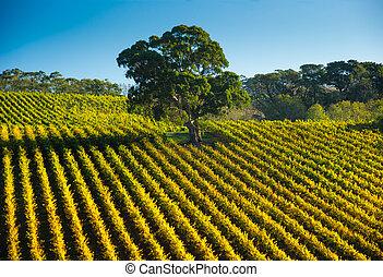rangées, vigne