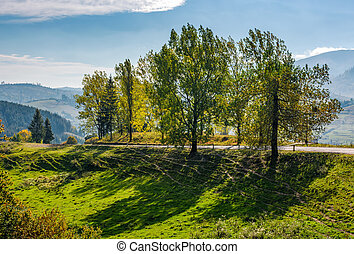 range of poplar trees by the road on hillside. beautiful day...