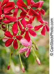 Rangoon creeper, (Quisqualis indica Linn. in science name)