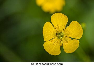 ranunculus acris buttercup mellow yellow