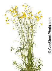 Ranunculus arvensis - yellow flowers (Ranunculus arvensis)...