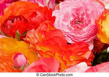 ranunculus, asiatique, fleurs