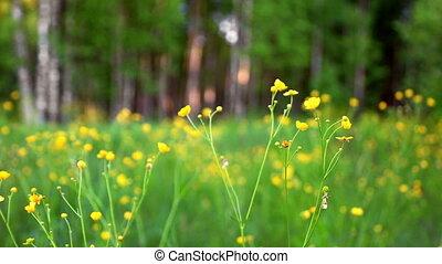 Ranunculus blooming in meadow - Buttercup (Ranunculus acris)...