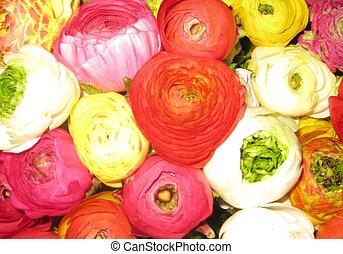 ranunculus, bouquet, fleurs