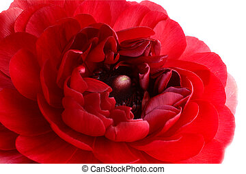 Ranunculus - Extreme close-up of red ranunculus flower over ...
