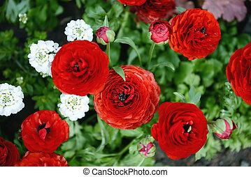 ranunculus, fleurs, rouges