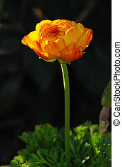 Ranunculus Flower - A pretty, orange ranunculus flower ...