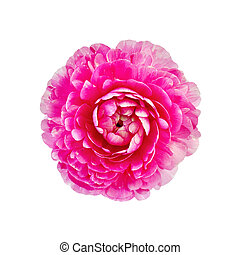 Ranunculus pink - One pink flower ranunculus isolated on ...