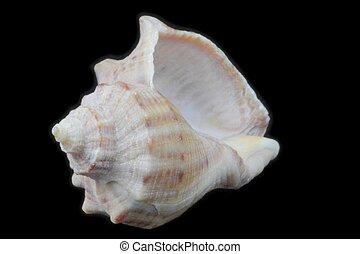 Rapana seashell on a black background close-up, view from different sides, high contrast, natural colors, great detail, isolated.