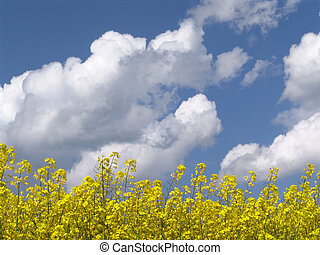 rape and clouds - blooming rape field and cloudy blue sky -...