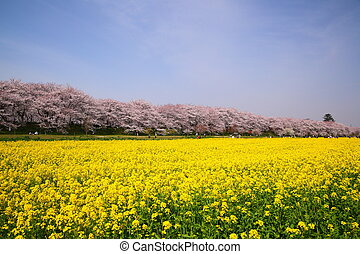 Rape blossoms and cherry tree