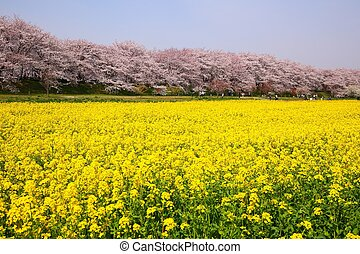 Rape blossoms and cherry tree in Saitama, Japan