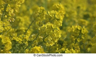 Rape blossom%u3000in Japan
