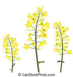 Rape canola flower isolated vector