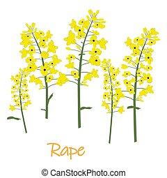 Rape canola flower isolated vector